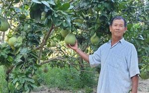 Phú Yên: Trồng vườn cây ăn trái đặc sản bán cho siêu thị lớn, ông nông dân này khá giả hẳn lên