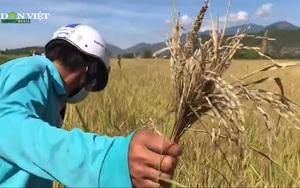 Khánh Hòa: Năng suất lúa giảm, nông dân kém vui