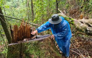 """Lâm Đồng: Hiện trường vụ """"tàn sát"""" rừng dổi tự nhiên ở khu vực giáp ranh của 3 huyện"""