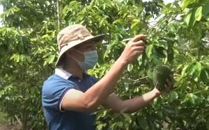 Mạnh dạn đem cả vườn mãng cầu ra làm trà mãng cầu Xiêm, anh nông dân thu lời gấp 2 lần