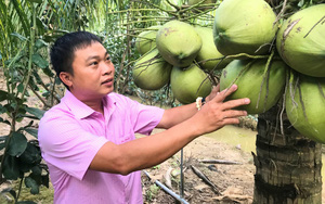 Trồng dừa sáp nuôi cấy phôi chịu mặn, anh nông dân thu hàng trăm triệu đồng mỗi tháng