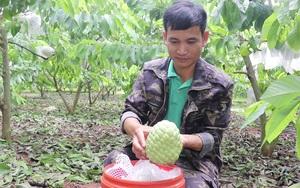 """Người Thái ở Sơn La thu tiền tỷ từ loại cây cho trái """"khổng lồ"""" nặng 1kg/quả mà nhìn đâu cũng thấy mắt"""