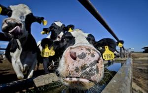 Trang trại bò sữa Mỹ lao đao khi giá thức ăn chăn nuôi tăng vọt, nguyên nhân một phần do Trung Quốc