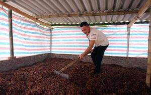 Lào Cai: Trồng thứ cây ra quả quý thơm lừng, gặp dịch giá rẻ chưa từng thấy, dân nghĩ ngay ra cách hay này