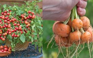 """8 loại rau """"thấp lùn"""" cho năng suất cao nên trồng trên sân thượng hoặc ban công nhà phố"""