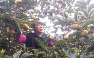 Sơn La: Giữa mùa dịch Covid-19, hồng giòn bán cháy hàng, nông dân phấn khởi