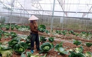 Lào Cai: Trồng rau trái vụ, rằng hay thì thật là hay nhưng ít thì thừa, nhiều lại thiếu, vì sao vậy?