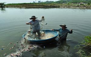 Quảng Ngãi: Lạ mà hay, nuôi ghép tôm - cua- cá trong ao, nhưng cho hiệu quả kinh tế bất ngờ