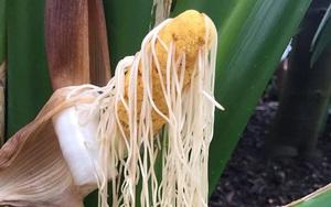 """Kỳ lạ loại cây """"vỏ bắp ngô, ruột mì tôm"""" có thể tạo thành những chiếc mũ có giá hơn 500 triệu đồng"""