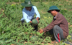 Mô hình trồng dưa hấu hữu cơ trên đất lúa thiếu nước