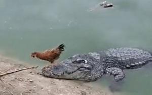 """Đứng tim cảnh con gà trống thoát khỏi miệng lưỡi """"tử thần"""" cá sấu chỉ trong một nốt nhạc"""