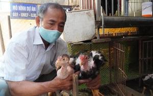 """Bắc Ninh: Kỳ công như dân làng Lạc Thổ-hàng trăm năm nuôi gà Hồ từng dùng để """"tiến vua"""""""