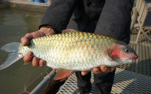 Một ông nông dân tỉnh Hưng Yên kỳ công nuôi nhốt cá quý hiếm trong lồng cuối cùng thu 1 tỷ đồng