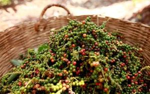 Giá nông sản hôm nay 30/8: Hồ tiêu giảm nhẹ, cà phê ổn định