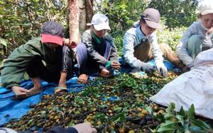 """Gia Lai: Mùa hái trái rừng đặc sản ví như """"lộc trời"""" của đồng bào dân tộc Banar, mỗi ngày kiếm cả triệu đồng"""