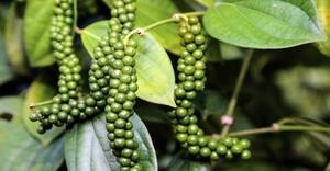 Giá nông sản hôm nay 31/8: Tiêu XK sang Trung Quốc vẫn chạy đều; cà phê neo ở mức cao 40.000 đồng/kg