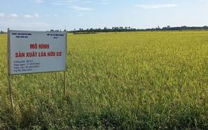 """Thừa Thiên Huế: 70 tấn lúa hữu cơ bí đầu ra, hợp tác xã """"cầu cứu"""" huyện"""