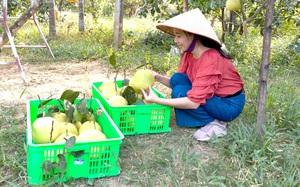 """""""Đệ nhất danh quả"""" của tỉnh Hà Tĩnh bước vào vụ thu hoạch"""