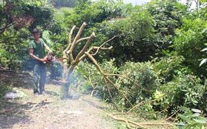 """Thái Nguyên: Cây """"mũi nhọn"""" là cây gì mà dân làng này chặt bỏ vô số, nhiều người nhìn thấy xót ruột?"""