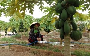 Phú Yên: Trồng đu đủ giống lạ, cây thấp tè đeo trái quá trời, hái bán 60 tấn, lãi 250 triệu đồng