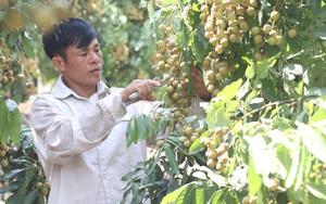 Sơn La: Từ phận làm thuê ông nông dân đổi đời thành tỷ phú nhờ nuôi lợn, trồng cây ăn quả đặc sản