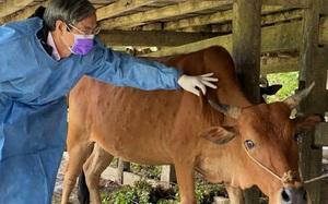 Thanh Hóa: Công bố hết dịch viêm da nổi cục trên trâu, bò