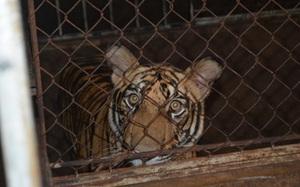 Clip: Thông tin từ người bắn thuốc mê tham gia giải cứu 17 cá thể hổ ở Nghệ An