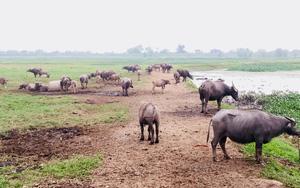 Bệnh viêm da nổi cục đã không còn trên đàn trâu, bò của tỉnh Ninh Bình
