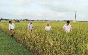 Ninh Bình: Chỉ làm theo cách này, nông dân trúng lớn vụ lúa đông xuân, lại tiết kiệm phân bón, giống