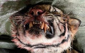 Nhìn từ vụ giải cứu hổ ở Nghệ An: Cần gắn chíp, nhận dạng 300 cá thể hổ bị nuôi nhốt ở Việt Nam!