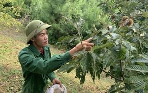 Bắc Kạn: Thứ cây lạ ra trái đầy lông, hái phải dùng kẹp để gắp, bán 120.000 đồng/kg hạt mà khách mua tới tấp