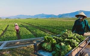 """Nghệ An: Hàng nghìn tấn rau đang """"nằm ruộng"""" chờ đầu ra"""