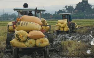 """Ảnh: Nông dân Đà Nẵng khẩn trương thu hoạch lúa """"chạy"""" bão"""