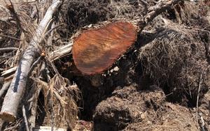 Bình Định: Rừng phòng hộ bật gốc, tan hoang vì dự án điện mặt trời?