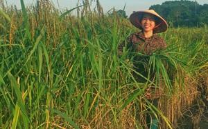 Thái Nguyên: 1 năm chỉ trồng 1 vụ lúa nếp đặc sản cho hạt dẻo quánh, nông dân ở đây khấm khá