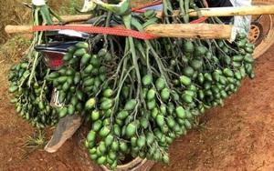 Trung Quốc tăng tốc mua loại nông sản này của Việt Nam, bán 1 tạ mua chỉ vàng nhưng đừng ham trồng nhiều
