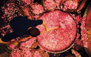 Kỳ công trồng thứ hoa là nguyên liệu làm nên nước hoa lừng danh thế giới Chanel No.5