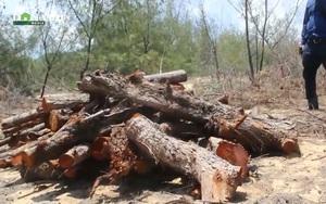 """""""Tàn sát"""" rừng phòng hộ ở Bình Định, trách nhiệm thuộc về ai?"""