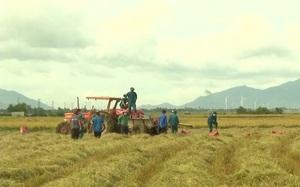 Ninh Thuận: Tổ thu hoạch lúa giúp bà con nông dân trong khu phong tỏa