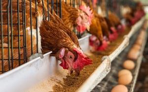 Việt Nam có lợi thế lớn về phụ phẩm nông nghiệp làm thức ăn chăn nuôi