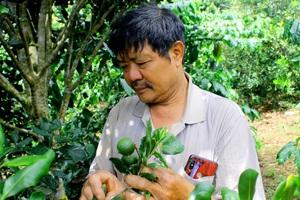 Chỉ là loại cây xen canh mà mỗi năm nông dân vùng cao thu hàng trăm triệu đồng từ loại cây này