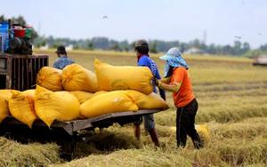 Long An: Đặc sản chín rộ vàng đồng, thương lái mua với giá bèo, nông dân mất 5 triệu đồng/ha