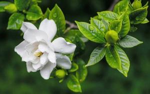 7 cây cảnh ngát hương thơm, giúp cải thiện tâm trạng, nâng cao sức khỏe cho gia chủ