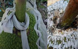 Giá mít Thái hôm nay 13/9: Mít bất ngờ giảm 2.000 đồng/kg, dân thí nghiệm quấn vải cuống mít thay vì quét vôi ăn trầu