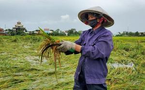 Đà Nẵng: Nông dân thất thần nhìn lúa nảy mầm ngập trong nước sau bão số 5
