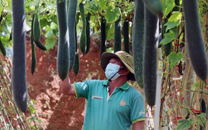 """Trồng giống dây leo cho quả trái vụ, 3 tháng nông dân Sơn La """"bỏ túi"""" trên 100 triệu"""