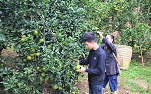 Tuyên Quang: Hỗ trợ người dân chăm sóc cây cam ở giai đoạn ra quả quyết định năng suất vụ cam