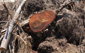 """Dự án Nhà máy điện mặt trời """"tàn sát"""" 5,2ha rừng do nhầm lẫn: Cần điều tra xác minh trách nhiệm pháp lý?"""