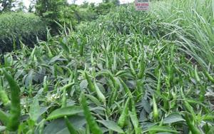 Tiền Giang: Nông dân mừng ra mặt vì nhiều mặt hàng nông sản lên giá
