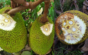 Giá mít Thái hôm nay 16/9: Giá lại giảm, tại sao cây mít tơ trái bị xơ đen, cách khắc phục?